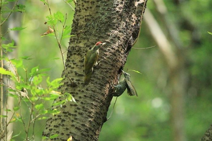 給餌かと思いきやいきなりメスのヒナが巣を飛び出した。