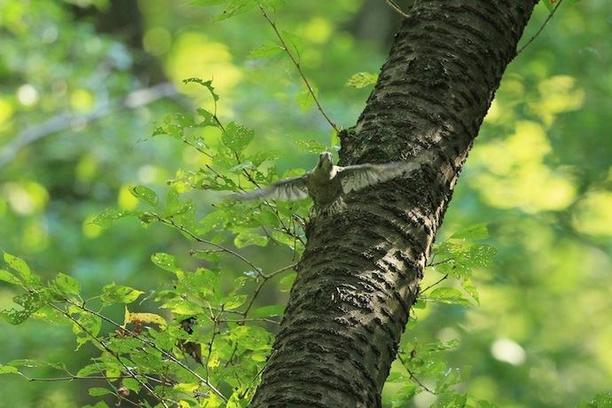 ひな鳥の初飛翔。10数メートル離れた木に飛んで行った。
